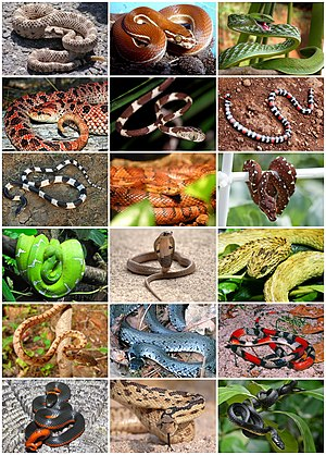 Ular Wikipedia Bahasa Indonesia Ensiklopedia Bebas