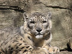 Snow Leopard at Louisville Zoo2.jpg