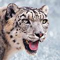 Snow leopard portrait-2010-07-09.jpg