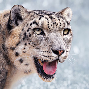 Portrait of a male snow leopard (Uncia uncia) ...