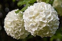 Roseum Syn Snowball Viburnum Opulus