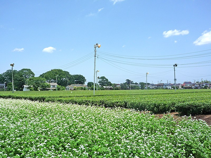 File:Soba and Tea field Tokorozawa.jpg