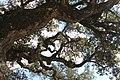Sobreiro do Largo da Igreja - Parada de Todeia, Paredes - 22.jpg