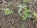 Soja Cultivo de Soja en V2.jpg