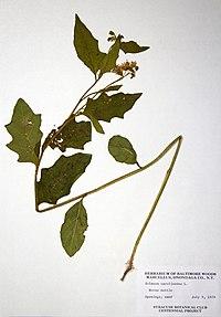 Solanum carolinense var. carolinense BW-1979-0709-0702.jpg
