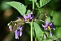 Solanum dulcamara (7735859646).jpg