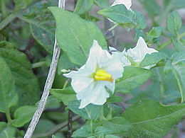 Solanum venturii0