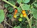 Solanum violaceum 01.JPG