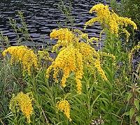 Bloom clockkeyssoutheastern pennsylvaniaaugustyellow flowers flowers on s gigantea mightylinksfo