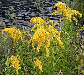 <i>Solidago gigantea</i> species of plant