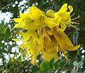 Sophora cassioides, flowers (8434473402).jpg