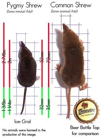 Common shrew - Image: Sorex minutus and Sorex araneus size comparison en