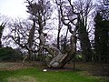 Spanish Chestnut - geograph.org.uk - 670503.jpg
