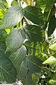 Spathodea campanulata 22zz.jpg