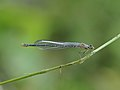 Speer-Azurjungfer, Coenagrion hastulatum 1.JPG
