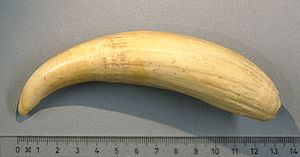 Tabua - Tooth of sperm whale