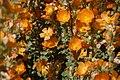 Sphaeralcea coulteri. – Coulter's Globemallow - panoramio.jpg