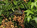 Sphecotheres vieilloti -Queensland, Australia-8 (2).jpg