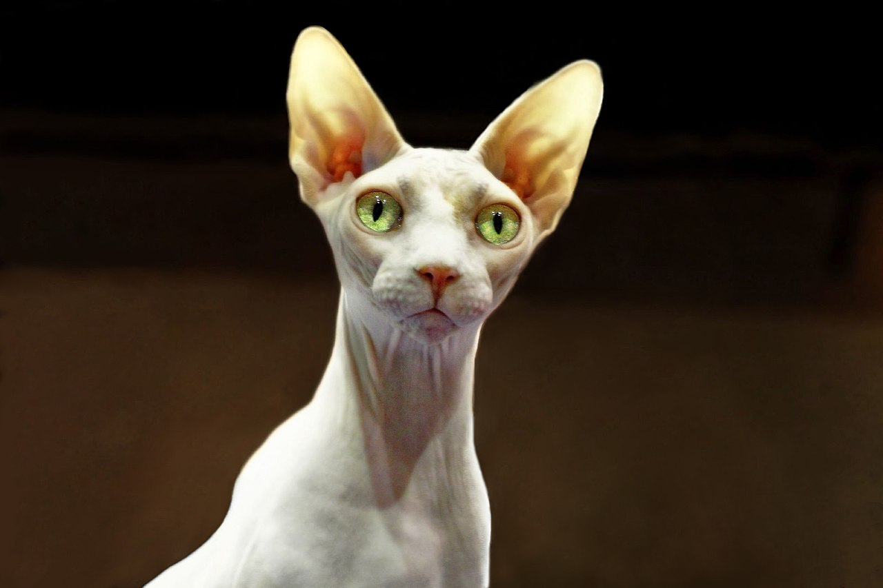 Free Pictures Of Hairless Cats