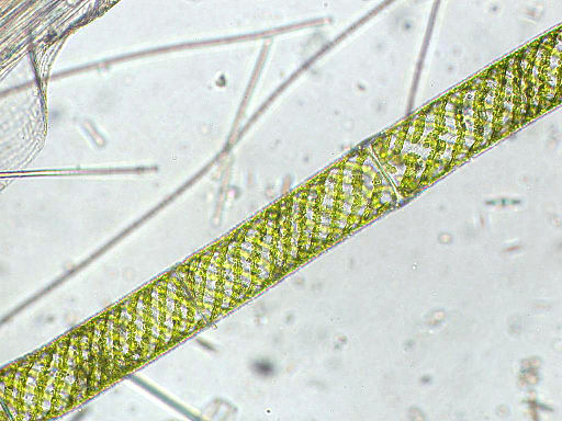 Spirogyra sp