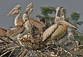 Spot-billed Pelican (Pelecanus philippensis)- Adults & Immatures at nest in Garapadu, AP W IMG 5201.jpg