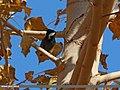 Spot-winged Tit (Periparus melanolophus) (15868967826).jpg