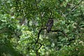 Spot bellied Eagle owl.jpg