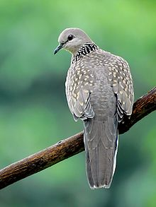 Spotted Dove (Streptopelia chinensis) Photograph by Shantanu Kuveskar.jpg