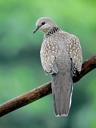 Spotted dove - S. chinensis suratensis (India)