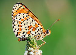 Spotted Fritillary - Side 1.jpg
