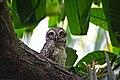 Spotted owlet (Athene brama).jpg