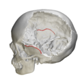 Squamosal suture - skull - medial view.png
