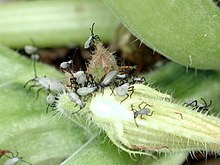 Squash bug nymph 1736.JPG