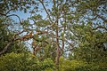 Sri Lankan leopard lounging in a tree - (Heavenly Home).jpg