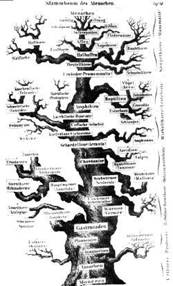 Fylogenetische Stamboom Wikipedia