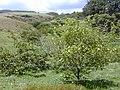 Starr-010425-0092-Solanum torvum-habit-Haiku-Maui (23905727403).jpg