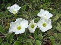 Starr-040711-0402-Ipomoea imperati-flowers-Mokuleia-Oahu (24688056326).jpg