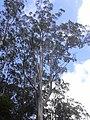 Starr-040713-0127-Eucalyptus sp-habit-Kopiliula-Maui (24621017171).jpg