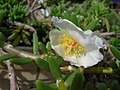 Starr-050407-6222-Portulaca villosa-habit-Maui Nui Botanical Garden-Maui (24377298989).jpg