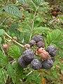 Starr-051123-5480-Rubus niveus-form a fruit-Haleakala Ranch-Maui (24554250000).jpg