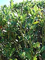 Starr-071024-0194-Laurus nobilis-leaves-Enchanting Floral Gardens of Kula-Maui (24776239912).jpg