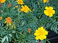 Starr-080103-1141-Tagetes erecta-flowers and leaves-Lowes Garden Center Kahului-Maui (24872717416).jpg