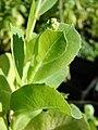 Starr-081031-0394-Lactuca sativa-lettuce bolting-Makawao-Maui (24559048979).jpg