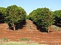 Starr-090714-2674-Coffea arabica-crop-Kaanapali-Maui (24342695783).jpg