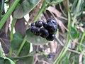 Starr-090806-3820-Basella alba-fruit-Wailuku-Maui (24675858100).jpg