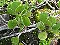 Starr-091104-0709-Scaevola coriacea-leaves-Kahanu Gardens NTBG Kaeleku Hana-Maui (24360431003).jpg
