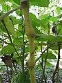 Starr-091104-8948-Piper postelsianum-stems-Kahanu Gardens NTBG Kaeleku Hana-Maui (24620750069).jpg
