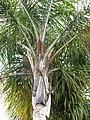 Starr-110307-2578-Syagrus romanzoffiana-crown-Kula Botanical Garden-Maui (24451473013).jpg