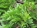 Starr-110307-2600-Wisteria floribunda-leaves-Kula Botanical Garden-Maui (24782771470).jpg