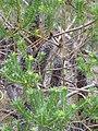 Starr-110307-2778-Banksia ericifolia-leaves-Kula Botanical Garden-Maui (24451914963).jpg